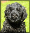 Dinastii Russian Black Terriers - Clarence as a puppy
